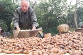 深秋季节香榧大量上市 临安的农户成了微商