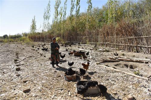 """和静县驻村工作队当""""微商""""""""生态鸡""""火起来"""