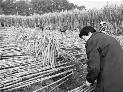 红糖产业报告首发 探讨义乌红糖产业发展之路