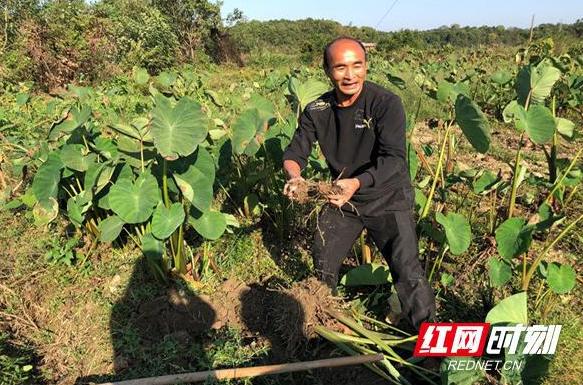 醴陵:扶贫干部变身微商 2000斤芋头销售一空